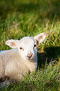 Spring lamb in the grass, Cotswolds, Oxfordshire, United Kingdom, UK.