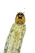 """Die kleine Meeresmücke Clunio marinus nur zu Vollmond oder Neumond fort. Dabei nutzt die zwei Millimeter kleine Mücke eine sogenannte """"biologische Mond-Uhr""""."""