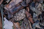 Scots pine cone, leaf litter