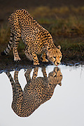 A cheetah (Acinonyx jubatus) reflected in the water as it drinks from a water hole during the calving season of the great migration , Ndutu, Ngorongoro Conservation Area, Tanzania, Africa