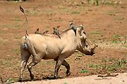 Common warthog (Phacochoerus africanus) with red-billed oxpeckers (Buphagus erythrorhynchus) in Samburu National Reserve, Kenya.