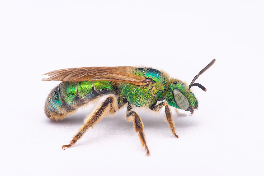 The genus Agapostemon is a common group of Western Hemisphere sweat bees, most of which are known as metallic green sweat bees for their color. Like other sweat bees, they are attracted to human sweat, and they use the salt from the sweat for nutrition. They are generally green or blue, especially the head and thorax.
