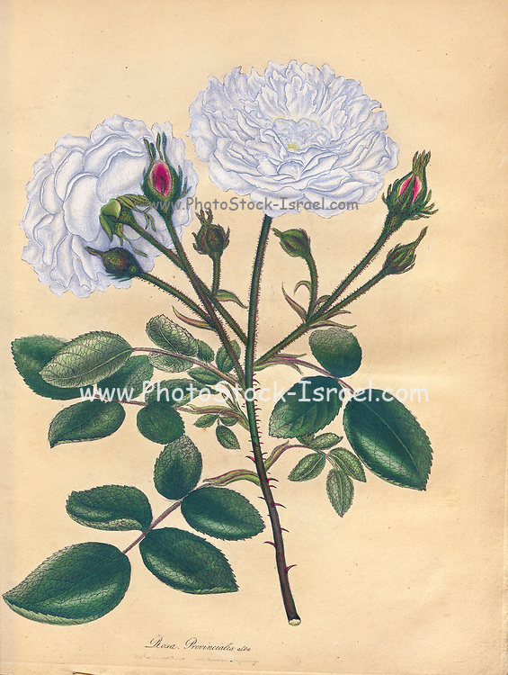 ROSA Provincialis, alba, White Province, or Rose Unique From the book Roses, or, A monograph of the genus Rosa : containing coloured figures of all the known species and beautiful varieties, drawn, engraved, described, and coloured, from living plants. by Andrews, Henry Charles, Published in London : printed by R. Taylor and Co. ; 1805.