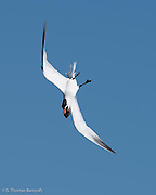 Caspian tern does acrobatic manuvers with a fish in its mouth. It repeatedly fliy over a flock of terns on the beach, occassionally stoping for a few minutes before flying around again. This bending-display is an integral part of courtship.