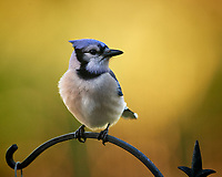 Blue Jay. Image taken with a Nikon D5 camera and 600 mm f/4 VR telephoto lens (ISO 1600, 600 mm, f/5.6, 1/800 sec).
