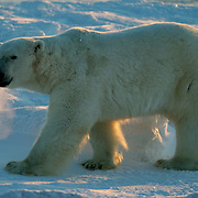 Polar Bear (Ursus maritimus) Large male walking, you can see his breath in the cold air. Churchill, Manitoba. Canada. Winter.