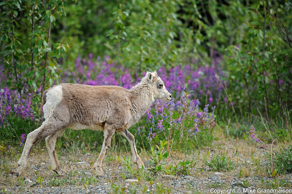 Young American or Rocky Mountain bighorn or Stone  sheep (Ovis sp.) <br />Cassiar Highway<br />British Columbia<br />Canada