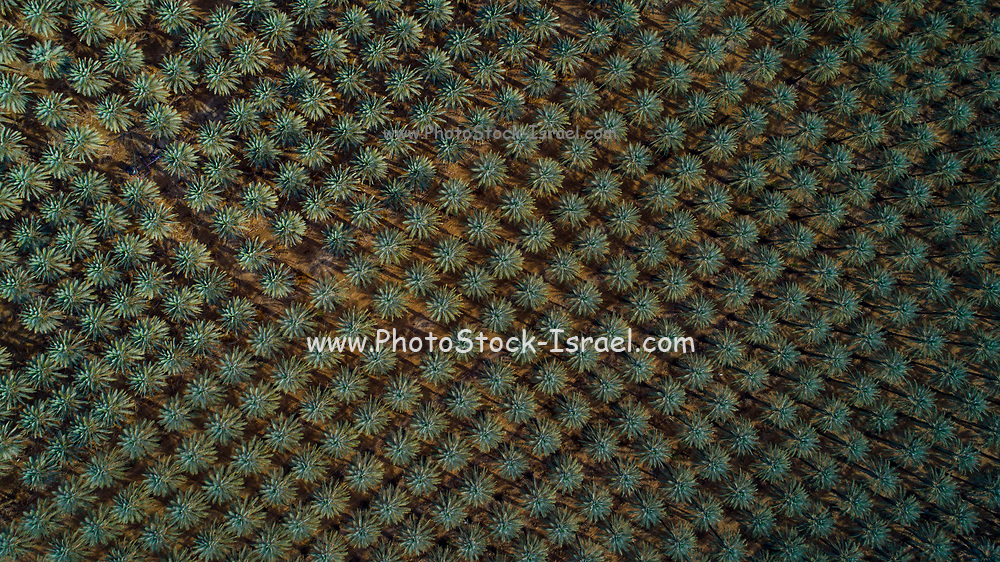 Aerial view with a drone of a palm tree plantation on the shores of the Dead sea, Israel
