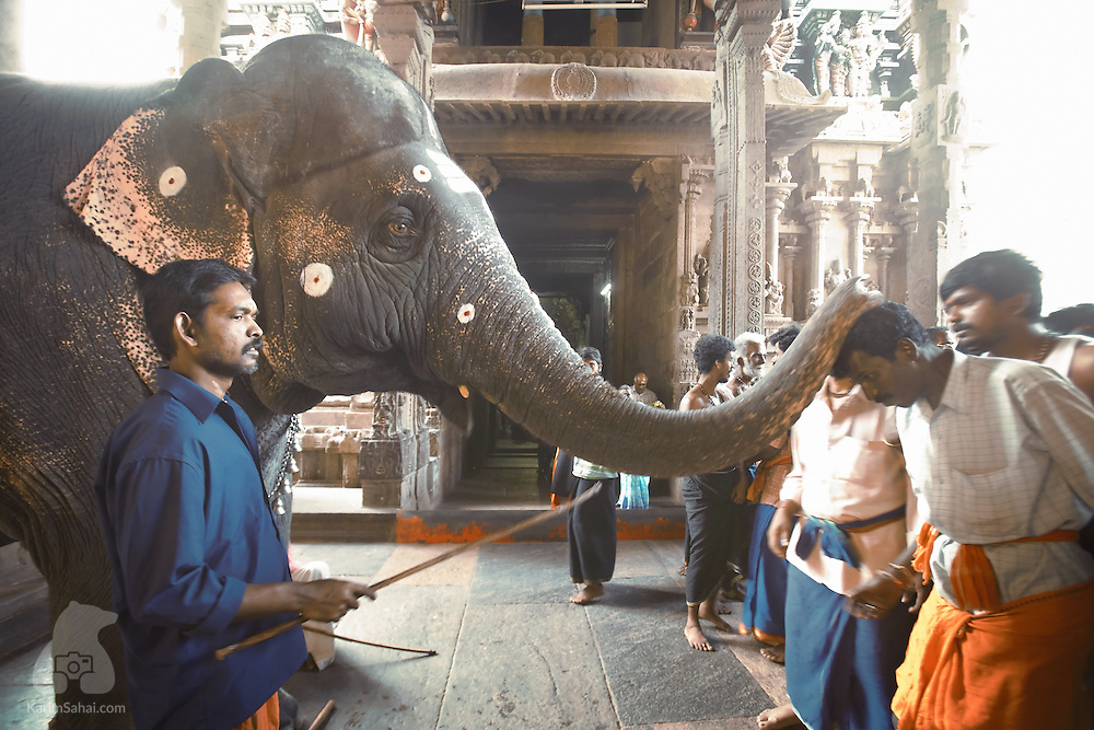 A young elephant blesses devotees with its trunk at the Sri Minakshi hindu temple in Madurai, Tamil Nadu, India. In hinduism, elephants are associated with Ganesha, the deity which removes obstacles.