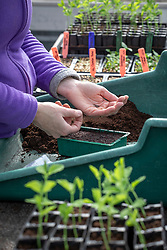 Sowing salvias in a seed tray