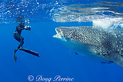 Deron Verbeck photographs whale shark, Rhincodon typus, Kona Coast, Hawaii Island ( the Big Island ), Hawaiian Islands ( Central Pacific Ocean )