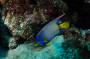 Queen Angelfish (Holacanthus ciliaris)<br /> BONAIRE, Netherlands Antilles, Caribbean<br /> HABITAT & DISTRIBUTION: Blends in with corals and seafans on reefs<br /> Florida, Bahamas, Caribbean, Bermuda, Gulf of Mexico south to Brazil.