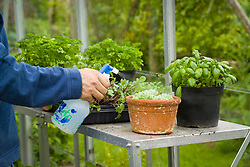 Spraying a succulent with tepid water to encourage it into growth