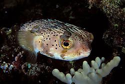 spiny porcupinefish, Diodon holocanthus, sleeping at night, Kona, Big Island, Hawaii, Pacific Ocean