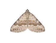 70.043 (1731)<br /> Chalk Carpet - Scotopteryx bipunctaria