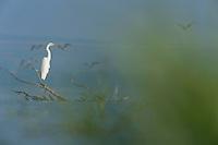 Little egret (Egretta garzetta) in Lake Belau, Moldova
