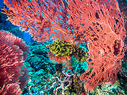 Large gorgonian fan and Crinoid on Barney's Reef, Witu Islands, Papua New Guinea