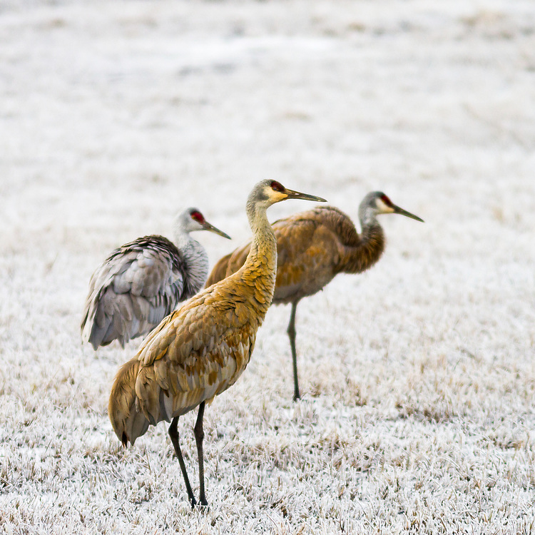 Three Sandhill Crane birds forages for food in winter conditions in Central Idaho near the town of Stanley in the Sawtooth Mountains. Licensing and Open Edition Prints.
