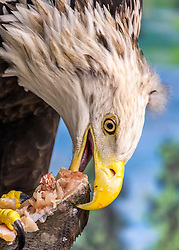 Harriet is the oldest eagle ambassador and arrived at the National Eagle Center in 2000. In 1998, a vehicle collision left her left wing badly dislocated and part of it was subsequently amputated.<br />