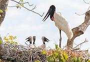 Jabiru stork (Jabiru mycteria) with three chicks in the nest. Araras Ecolodge, Pantanal, Brazil.