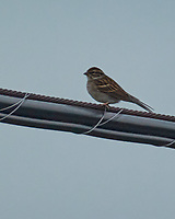 Chipping Sparrow. Image taken with a Nikon 1 V3 camera and 70-300 mm VR lens.