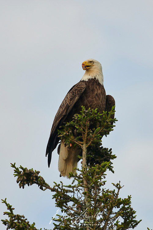 Bald eagle (haliaeetus leucocephalus) perched at the top of a fir tree,  Petite Riviere, Nova Scotia, Canada,