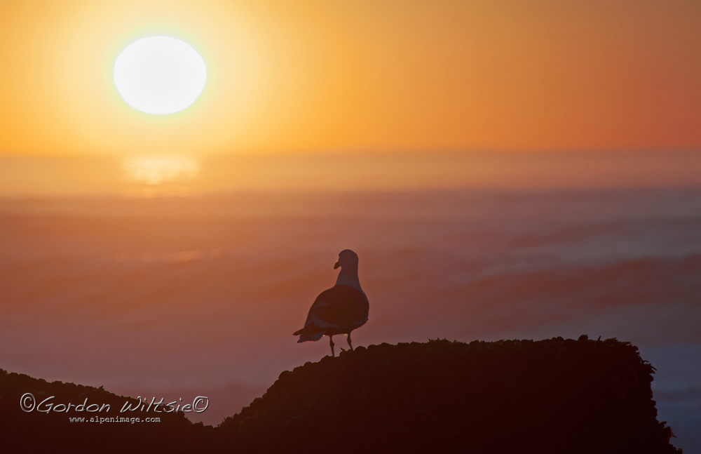 A gull appears to watch the sunset as  waves wash ashore on the California coast near Pescadero, California.