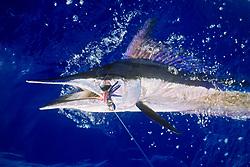short-billed spearfish, Tetrapterus angustirostris, off Kona Coast, Big Island, Hawaii, USA, Pacific Ocean ( dm )