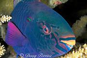swarthy parrotfish or black parrotfish, Scarus niger, asleep in coral at night, Layang Layang atoll, Sabah, Borneo, Malaysia