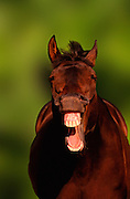 Image of a laughing horse, property released by Randy Wells