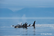 southern resident orca, or killer whales, Orcinus orca, off southern Vancouver Island, British Columbia, Strait of Juan de Fuca, Canada