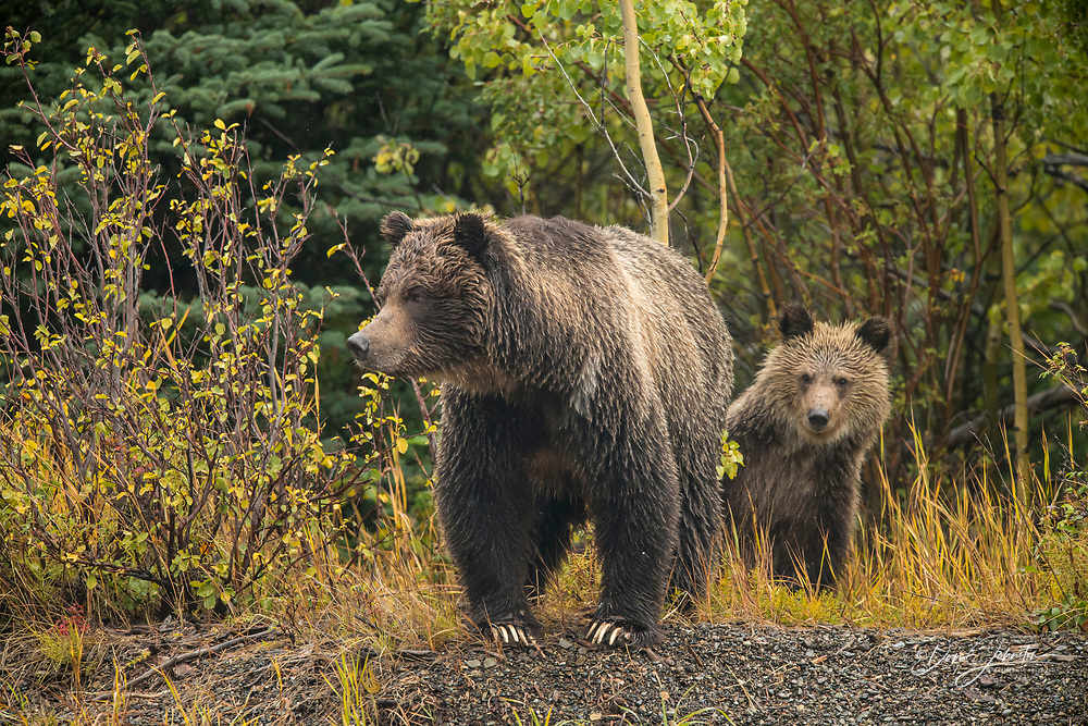 Grizzly bear (Ursus arctos)- Mother and first year cub hunting sockeye salmon spawning in the Chilko River, Chilcotin Wilderness, BC Interior, Canada