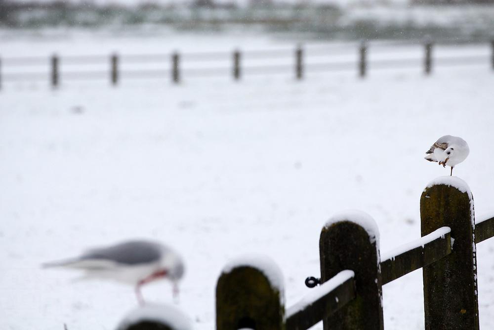 Twee meeuwen op een hek in de sneeuw in het Sonsbeekpark in Arnhem.<br /> <br /> Tow gulls are sitting on a fence in the snow at Sonsbeekpark in Arnhem.