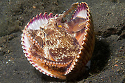 Coconut Shell Octopus carries two halves of a clam shell and when threatened uses it's tenacles to close them around it for protection, a rare example of an animal using tools.(Amphioctopus marginatus).Lembeh Straits,Indonesia