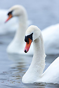 Mute Swan, Cygnus olor, at Welney Wetland Centre, Norfolk, UK