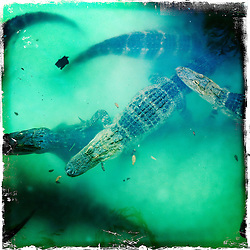 Alligators. Orlando holiday 2012. Photo taken with the Hipstamatic photo application on Apple iPhone 4.