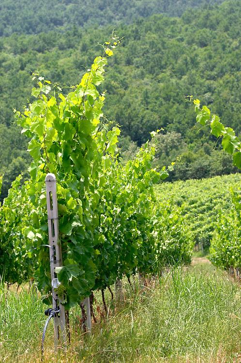 Vineyard. Xinomavro. Kir-Yianni Winery, Yianakohori, Naoussa, Macedonia, Greece