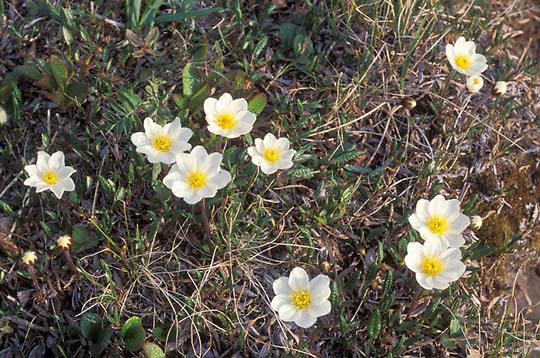 Alaska, Wildflowers, White Mountain Aven, (Dryas integrifolia) Arctic.