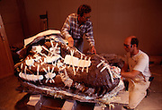 The T.rex called Sue was excavated and prepared by the Black Hills Institute and by their policy named after the discoveror, Sue Hendrcikson, an amateur paleontologist.