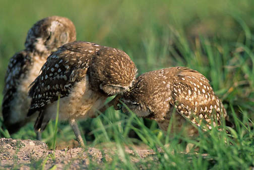 Burrowing Owl, (Athene cunicularia) Immature owls preening each other near burrow. Florida.