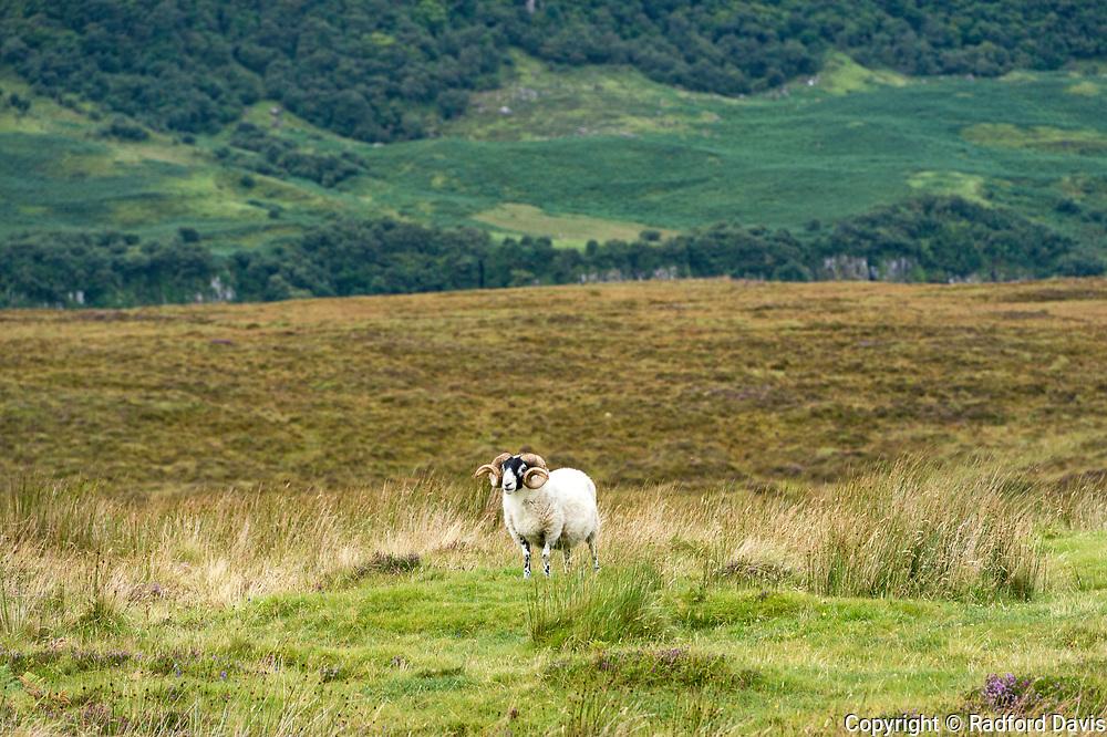 A ram on the Isle of Skye, Scotland, UK