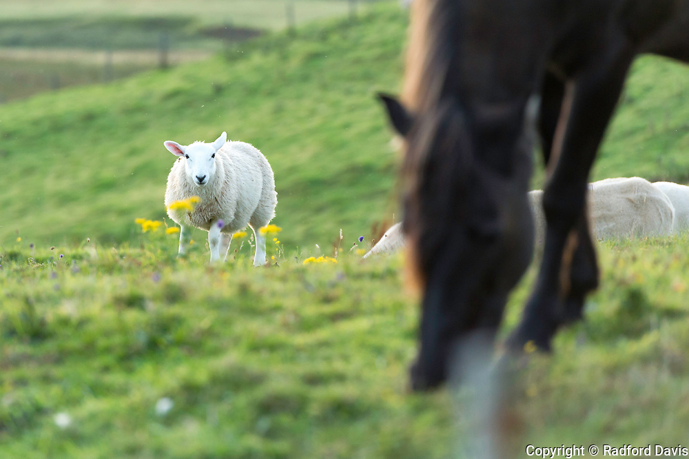Horse and sheep share a pasture on the Isle of Skye, Scotland