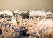 © Licensed to London News Pictures. 06/11/2014. Richmond, UK. Deer stand in long frozen grass. People and animals during a frosty start to the day on 6th November 2014. Temperature fell across the country overnight. Photo credit : Stephen Simpson/LNP
