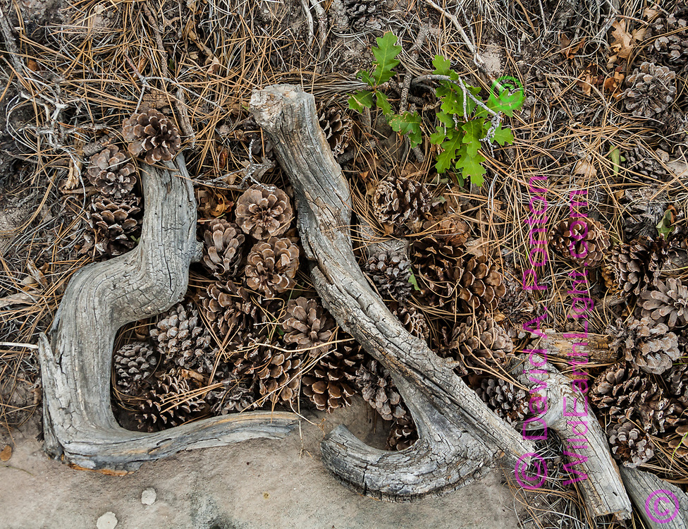 Pine cones and old pitchy branches form a natural arrangement on the forest floor, with a tiny gambel oak, Sierra Nacimiento, New Mexico. © David A. Ponton