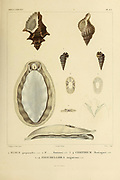 Fusus, Cerithium and Fissurellidea from the book 'Voyage dans l'Amérique Méridionale' [Journey to South America: (Brazil, the eastern republic of Uruguay, the Argentine Republic, Patagonia, the republic of Chile, the republic of Bolivia, the republic of Peru), executed during the years 1826 - 1833] Volume 5 Part 3 By: Orbigny, Alcide Dessalines d', d'Orbigny, 1802-1857; Montagne, Jean François Camille, 1784-1866; Martius, Karl Friedrich Philipp von, 1794-1868 Published Paris :Chez Pitois-Levrault. Publishes in Paris in 1843