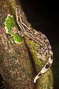 Turnip-tailed Gecko (Thecadactylus solimoensis)<br /> Yasuni National Park, Amazon Rainforest<br /> ECUADOR. South America<br /> HABITAT & RANGE: Western Amazon of Ecuador, Peru, Bolivia and western Brazil