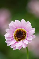 Argyranthemum 'Reflection Pink'. Marguerite