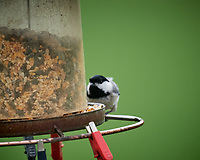 Black-capped Chickadee. Image taken with a Nikon D5 camera and 600 mm f/4 VR lens (ISO 1600, 600 mm, f/5.6, 1/800 sec)
