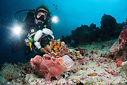 Lisa Allison videotapes giant frogfish or Commerson's frogfish, Antennarius commerson or Antennarius commersonii, yawning, Kankani South, Baa Atoll, Maldives ( Indian Ocean ), MR 413