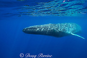 fin whale, finback whale, razorback, or common rorqual, Balaenoptera physalus, Pelagos Sanctuary for Mediterranean Marine Mammals, Ligurian Sea, Mediterranean Sea, Italy; white stringy copepod parasites, Pennella balaenopterae, can be seen attached to the whale's flank